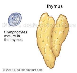 Thymus-and-T-lymphocyte