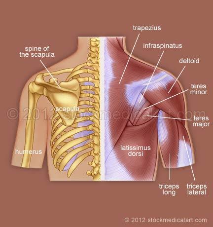 Muscles-and-bones-of-the-upper-backUpper Back Bones
