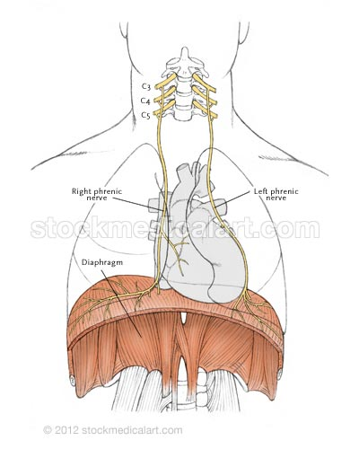 Phrenic-nerves