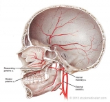 Skull-arterial-supply