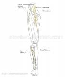 Leg-nerves