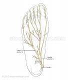 Foot-nerves