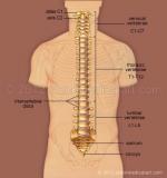 Spine-anterior