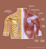Muscles-and-bones-of-the-upper-back