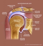 Shoulder-joint-cross-section