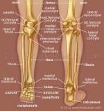 Leg-bones