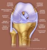 Cruciate-ligaments