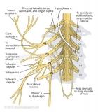 Cervical-plexus