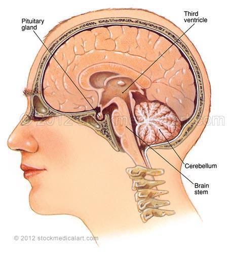 Brain-sagittal-section