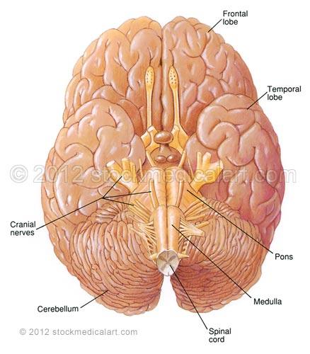 Brain-ventral-surface