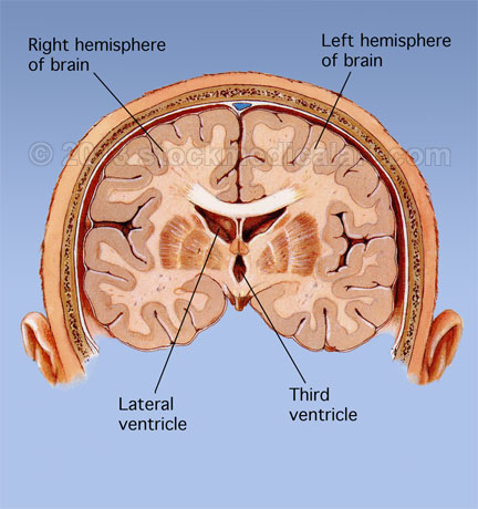 brain ventricles, Human Body