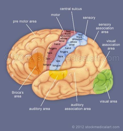 Brain-sensory-and-motor-cortex