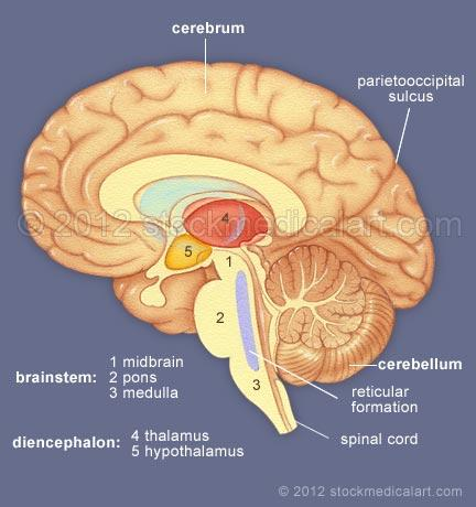 Brain-major-structures