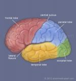 Brain-lobes