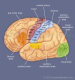 Brain-sensory-and-motor-cortex
