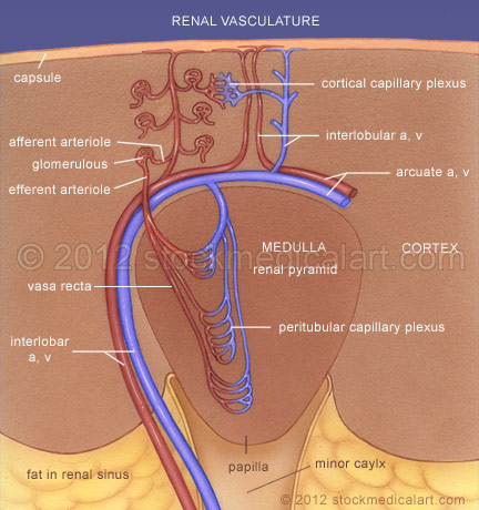 Renal-blood-vessels