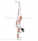 Adho-Mukha-Vrksasana-_-Downward-facing-tree-pose